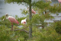 Flock of roseate spoonbills in cypress trees immature pale pink rest florida Royalty Free Stock Image
