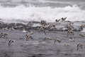 Flock of sea birds in flight sanderlings over a beach from the north portugal Stock Image