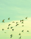 Flock of seagulls flying over the beach Royalty Free Stock Photos