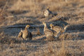 Flock of Sharp-Tailed Grouse, Tympanuchus phasianellus Royalty Free Stock Photo