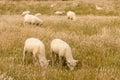 Flock of sheared sheep grazing