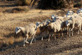 Flock of sheep Royalty Free Stock Photos