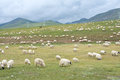 Flock of sheep the on alpine pasture Royalty Free Stock Photo