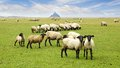 Flock sheep background mont saint michel abbey Royalty Free Stock Photo