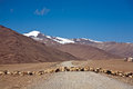 A flock of sheep is crossing more plain on leh manali highway ladakh jammu and kashmir india very famous among trekkers bikers Royalty Free Stock Photo