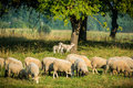 Flock of sheep eating grass near forest Stock Photography