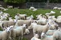 Flock of sheep at a farmyard Royalty Free Stock Photo