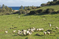 Flock of sheep in field Stock Photos