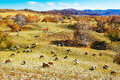 Flock of sheep or goats Royalty Free Stock Photo