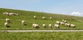 Flock of sheep grazing along a Dutch dike Royalty Free Stock Photo