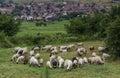Flock of sheep grazing grass