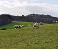 Flock of sheep grazing on a hill Royalty Free Stock Photo