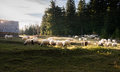 Flock of sheep grazing in a hill at sunset Stock Photos