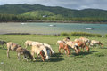 Flock of sheep grazing rodrigues island image showing a group in the open somewhere near the sea mauritius Stock Photography