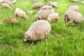 Flock of sheep grazing in spring Stock Images