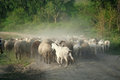 Flock of sheep herd moving on a dusty lane Royalty Free Stock Photos