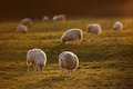 Flock of Sheep in Meadow at Sunset