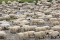 Flock of sheep are migrating Stock Images