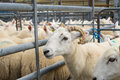 Flock sheep mixed goats fenced pen goat close up corral Stock Image