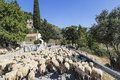 Flock of sheep on a mountain road in Crete Royalty Free Stock Photo