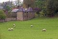 Flock of sheep out on the green farm pasture Royalty Free Stock Photo