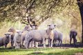Flock of sheep outside in summer nature Royalty Free Stock Photo