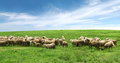 Flock of sheep in pasture and blue sky Royalty Free Stock Photo