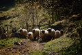 Flock of sheep on path in summer mountain Royalty Free Stock Images