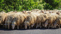 Flock of sheep photo shoot in madonie in sicily Stock Images
