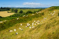 Flock of sheep resting Royalty Free Stock Photo