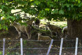 Flock of sheep resting under a tree taking shelter Royalty Free Stock Image