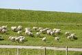 Flock of sheep running along a dutch dike herd afraid Royalty Free Stock Photo