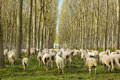 Flock of sheep running away Royalty Free Stock Photo
