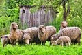 A flock of sheep small on the lawn Stock Photography
