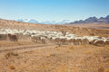 A flock of sheep on the steppes of mongolia Stock Images
