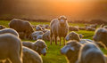 Flock of sheep at sunset in spring time