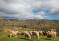 Flock of sheep wide angle view grazing cloudy day Stock Images