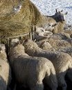 Flock of sheep winter feeding. Royalty Free Stock Photos