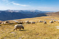 Flock of sheeps eating grass on top the mountain in romania Stock Photos