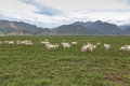 A flock of sheeps on grassland Royalty Free Stock Images