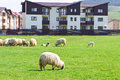 Flock of sheeps near blocks on the meadow at sunny day Royalty Free Stock Photos
