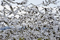 Flock of Snow Geese Royalty Free Stock Photo