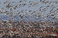 Flock of Snow Geese (Chen carelessness) in flight Royalty Free Stock Photo