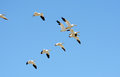Flock of snow geese in flight migration flying formation Royalty Free Stock Photo