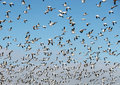 Flock of Snow Geese Taking Flight Royalty Free Stock Photo