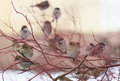 A flock of sparrows on a red branch sitting branches winter Royalty Free Stock Images