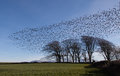 Starlings Royalty Free Stock Photo