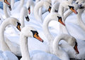 A flock of swans Royalty Free Stock Photography