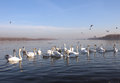 Flock of swans on the danube in zemun serbia Stock Images