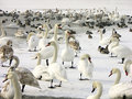 Flock of swans and ducks Royalty Free Stock Photography